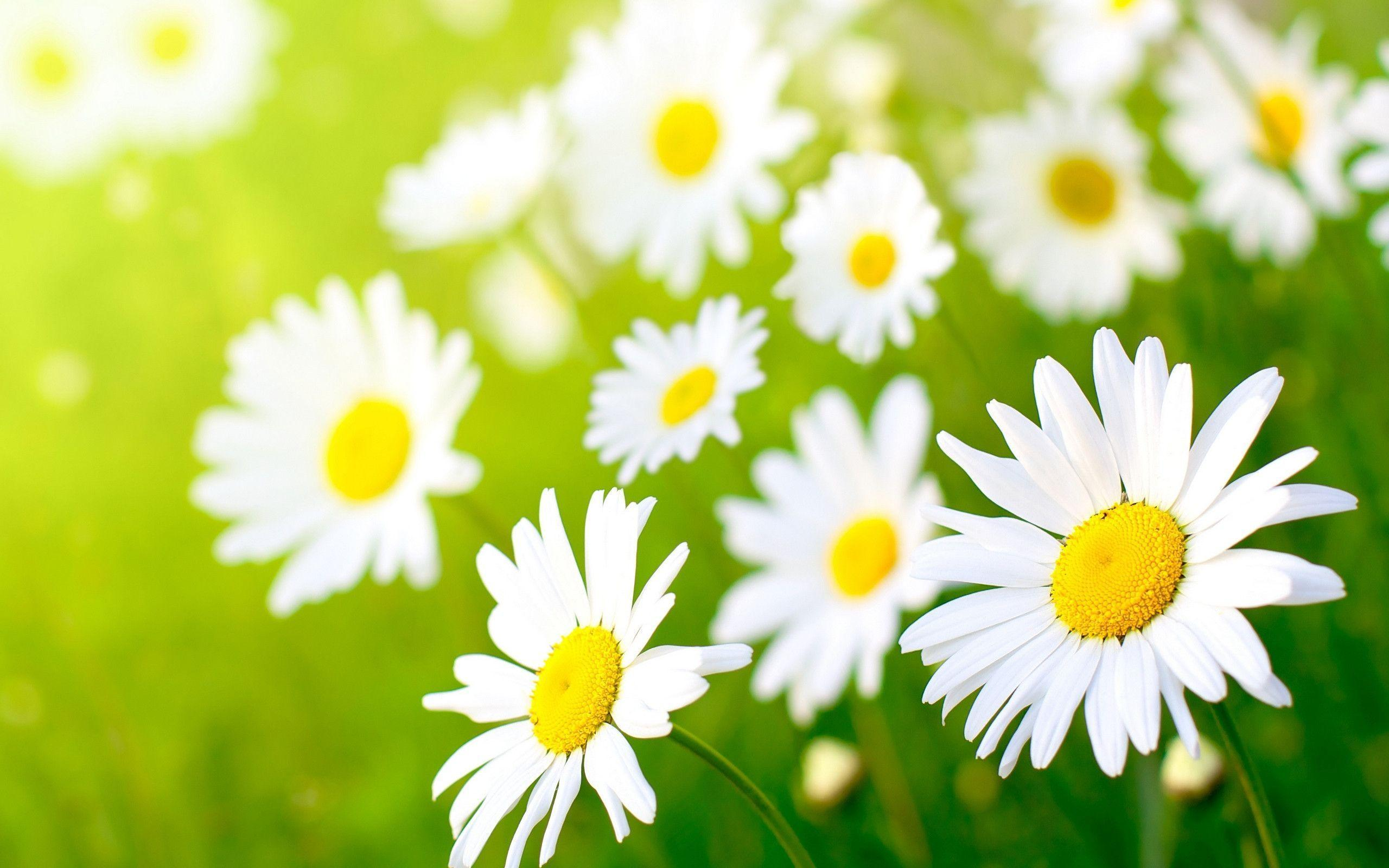 Wallpapers For > Daisy Flower Wallpapers