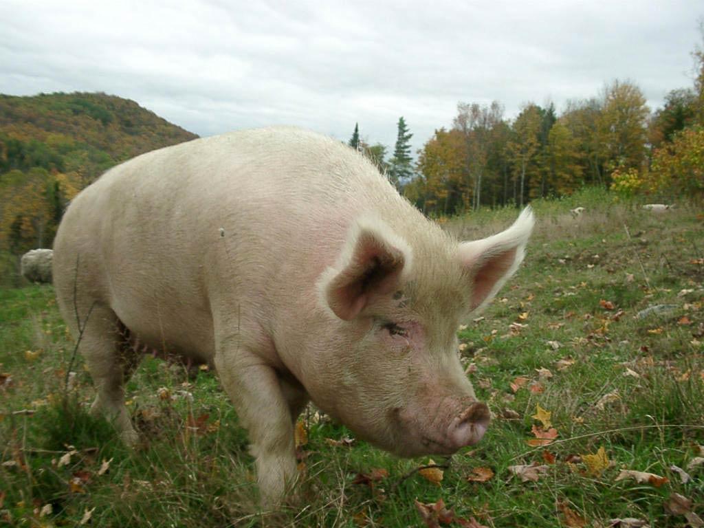 pig wallpaper | pig wallpaper - Part 2