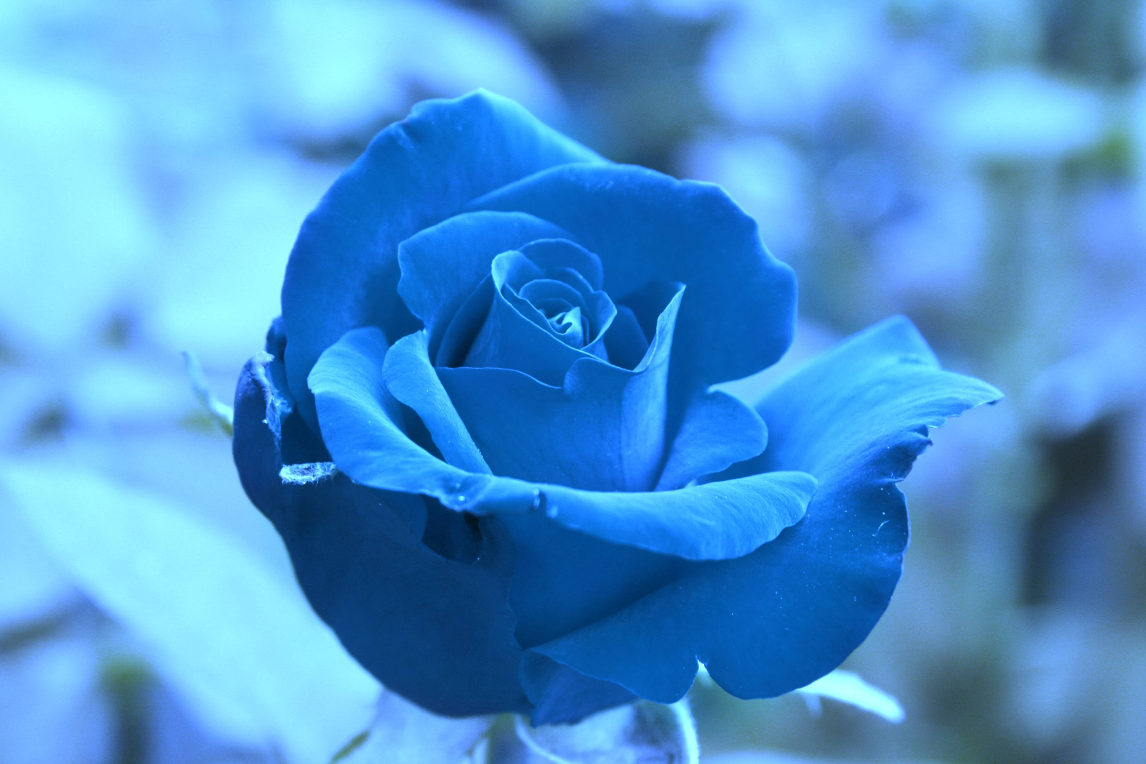 Download Free Blue Rose Flower Wallpaper