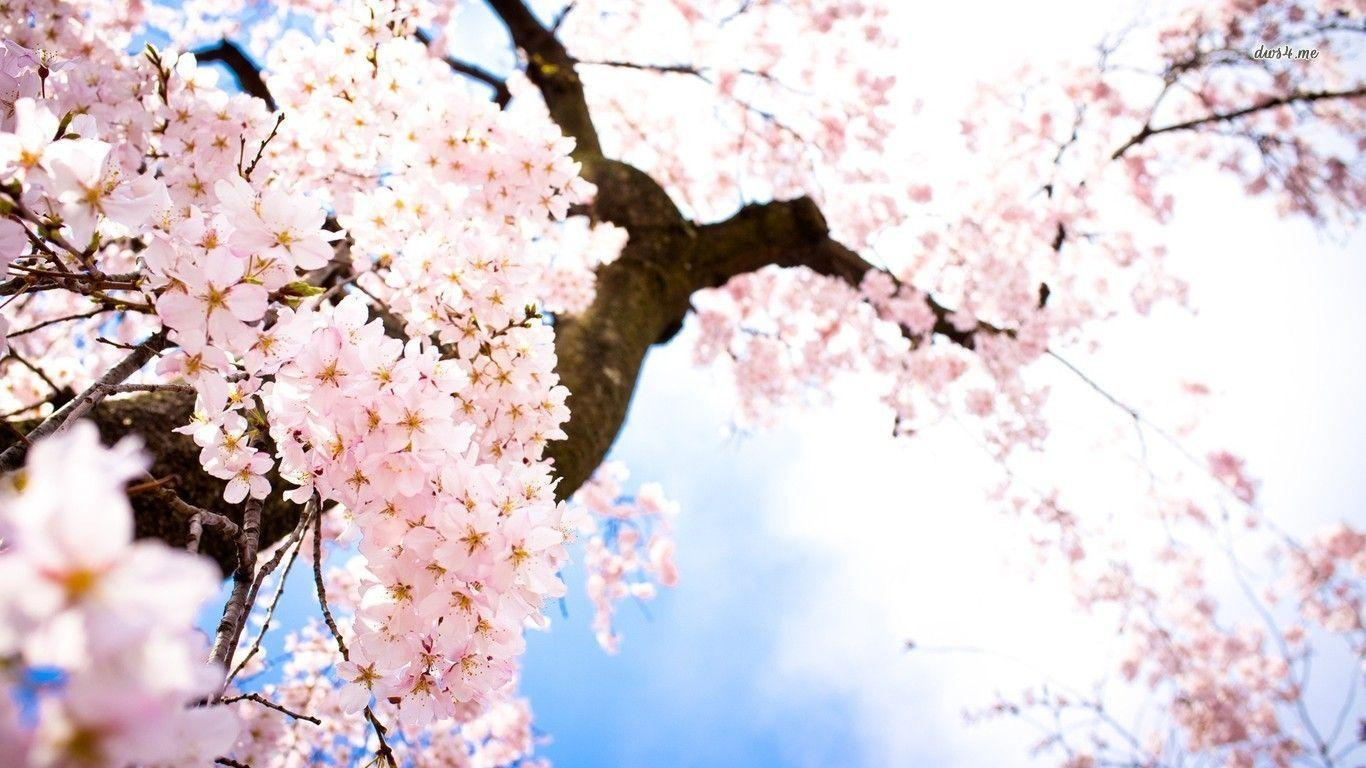 cherry blossem tree background wallpaper - photo #17