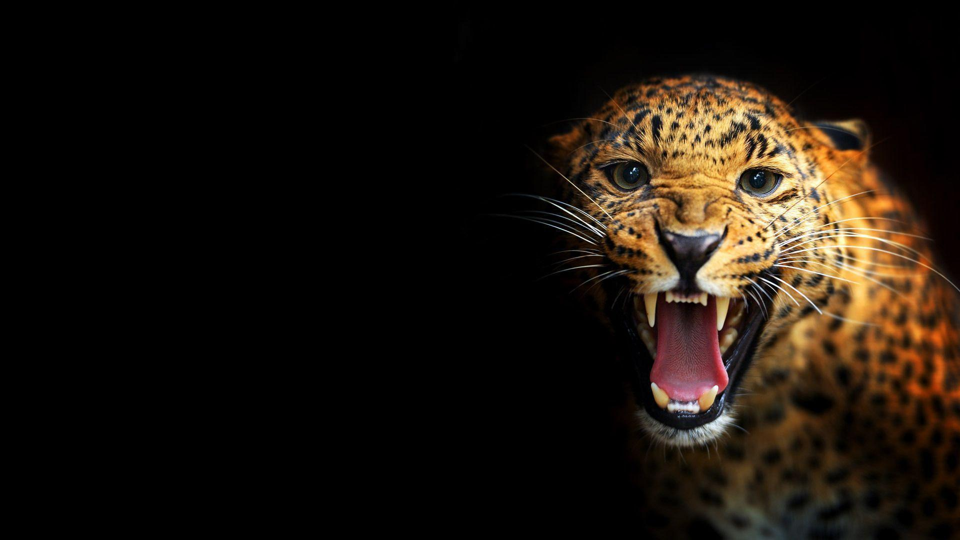 black leopard backgrounds wallpaper cave