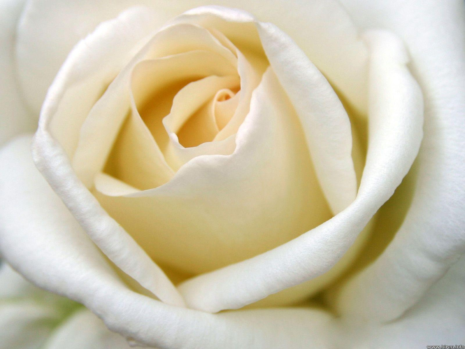 Wallpapers For > White Rose Backgrounds
