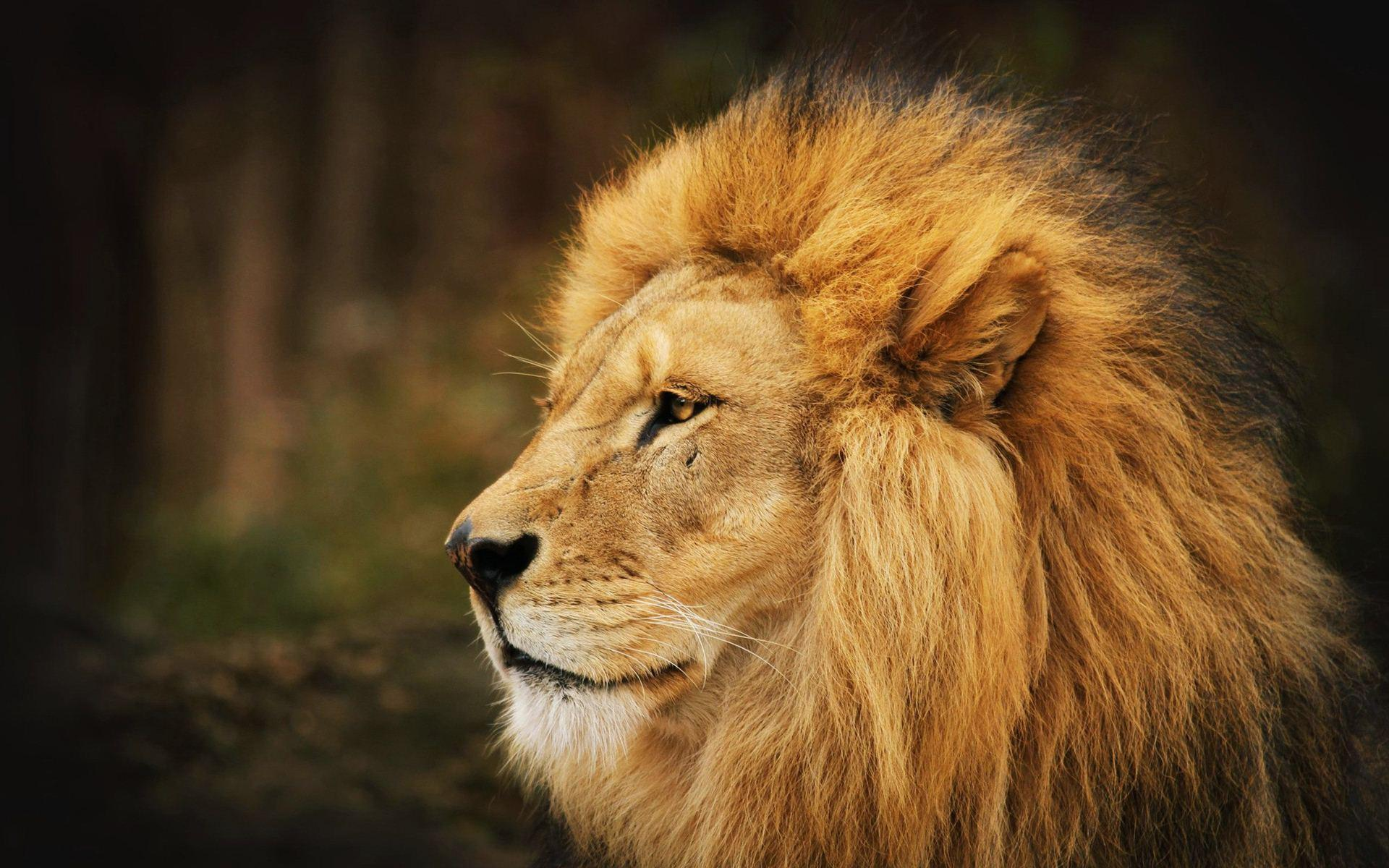 Download Lion Wallpapers 12645 1920x1200 px High Resolution ...