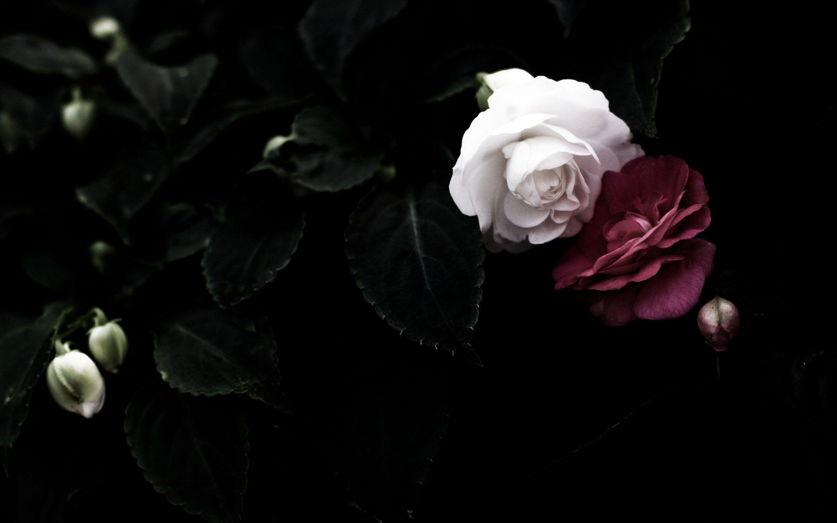 Black rose wallpapers wallpaper cave - Pink rose black background wallpaper ...