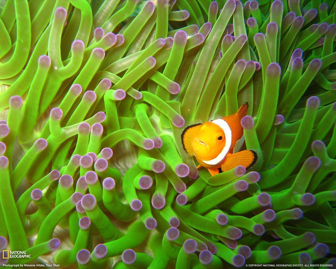 wallpaper clarkii clownfish - photo #35
