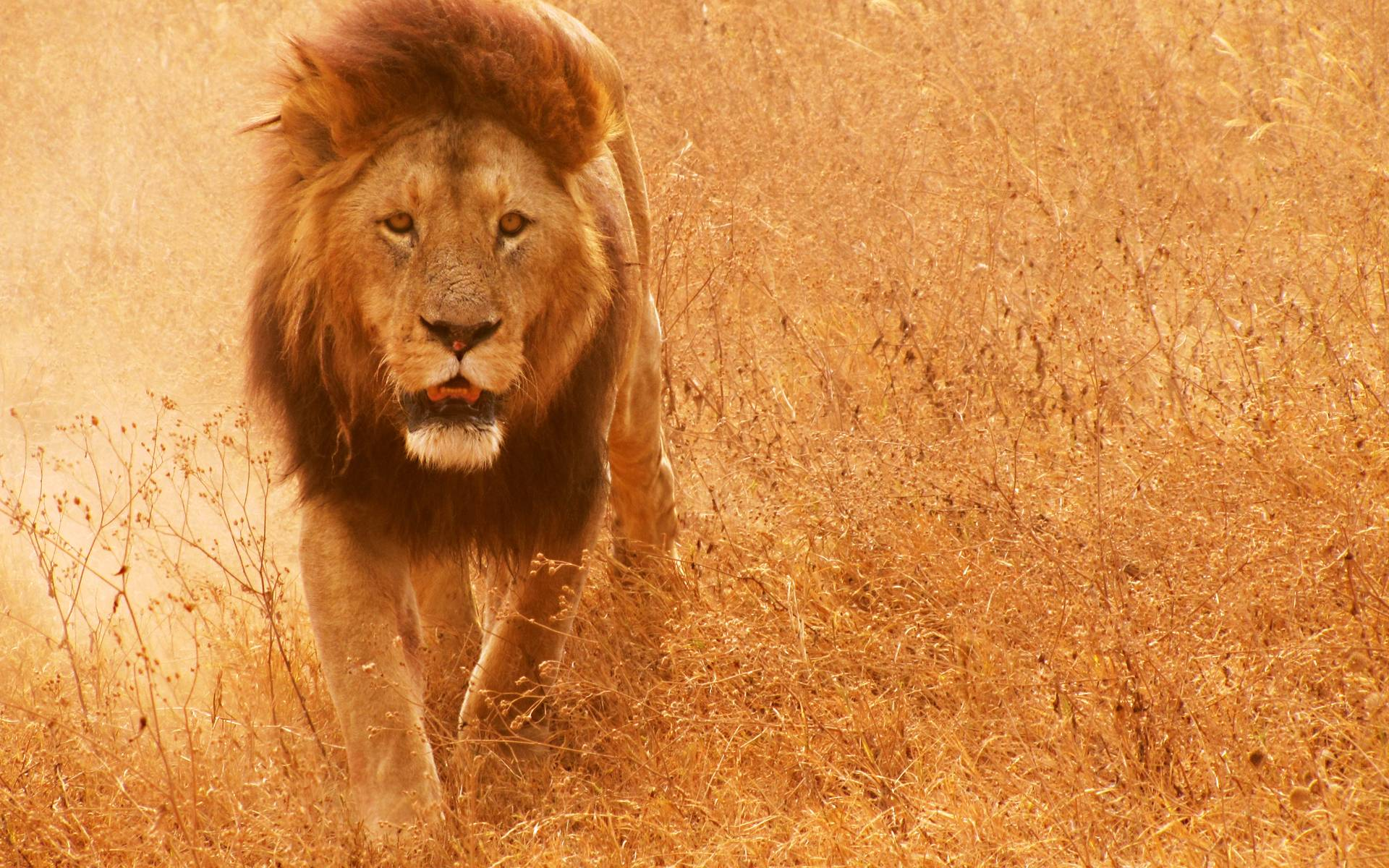 Lion Hd wallpaper - 1101530
