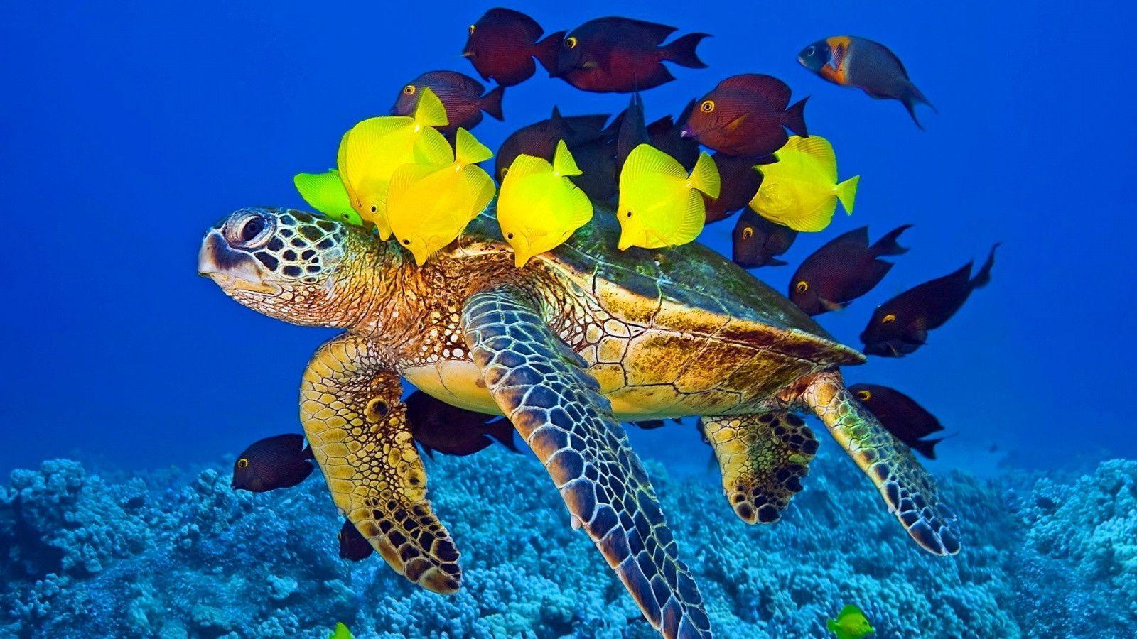 Sea Turtle Fish Wallpapers 1600x900 px Free Download