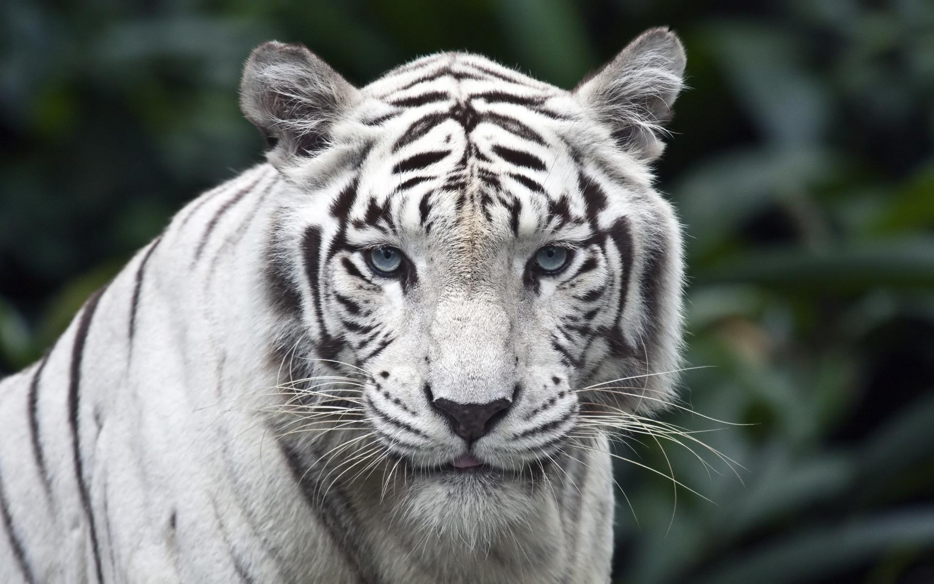 Desktop Wallpapers · Gallery · Animals · White Siberian Tiger