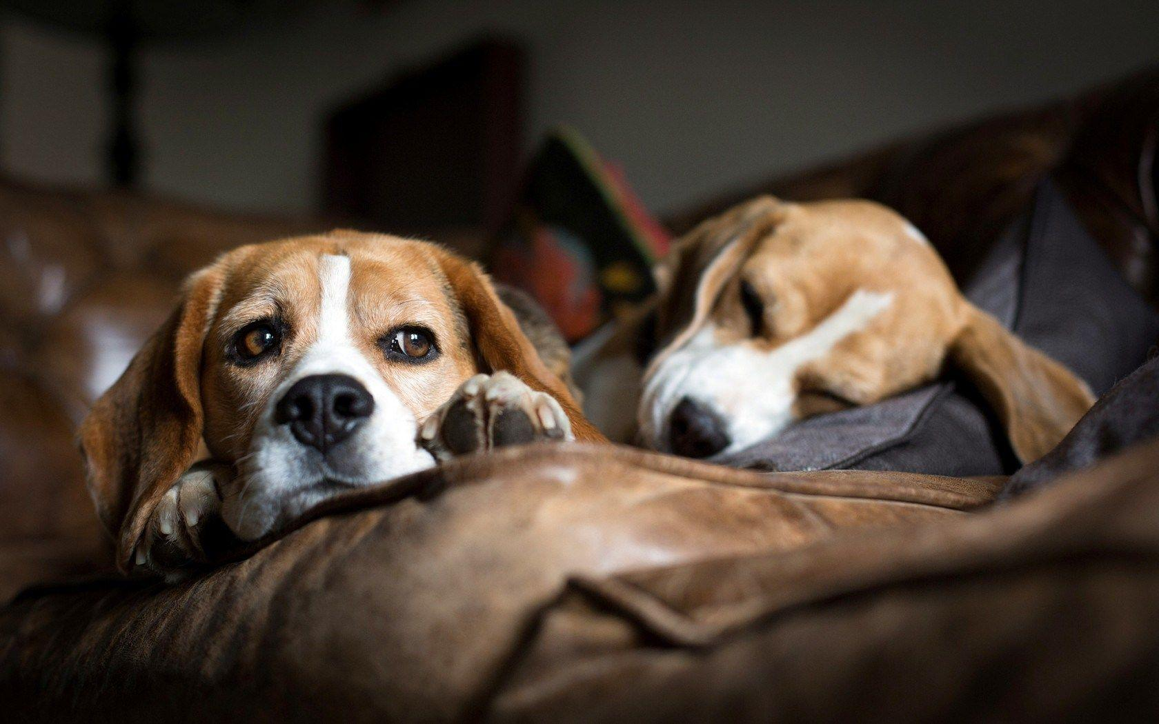 dog beagle guilty wallpapers - photo #2
