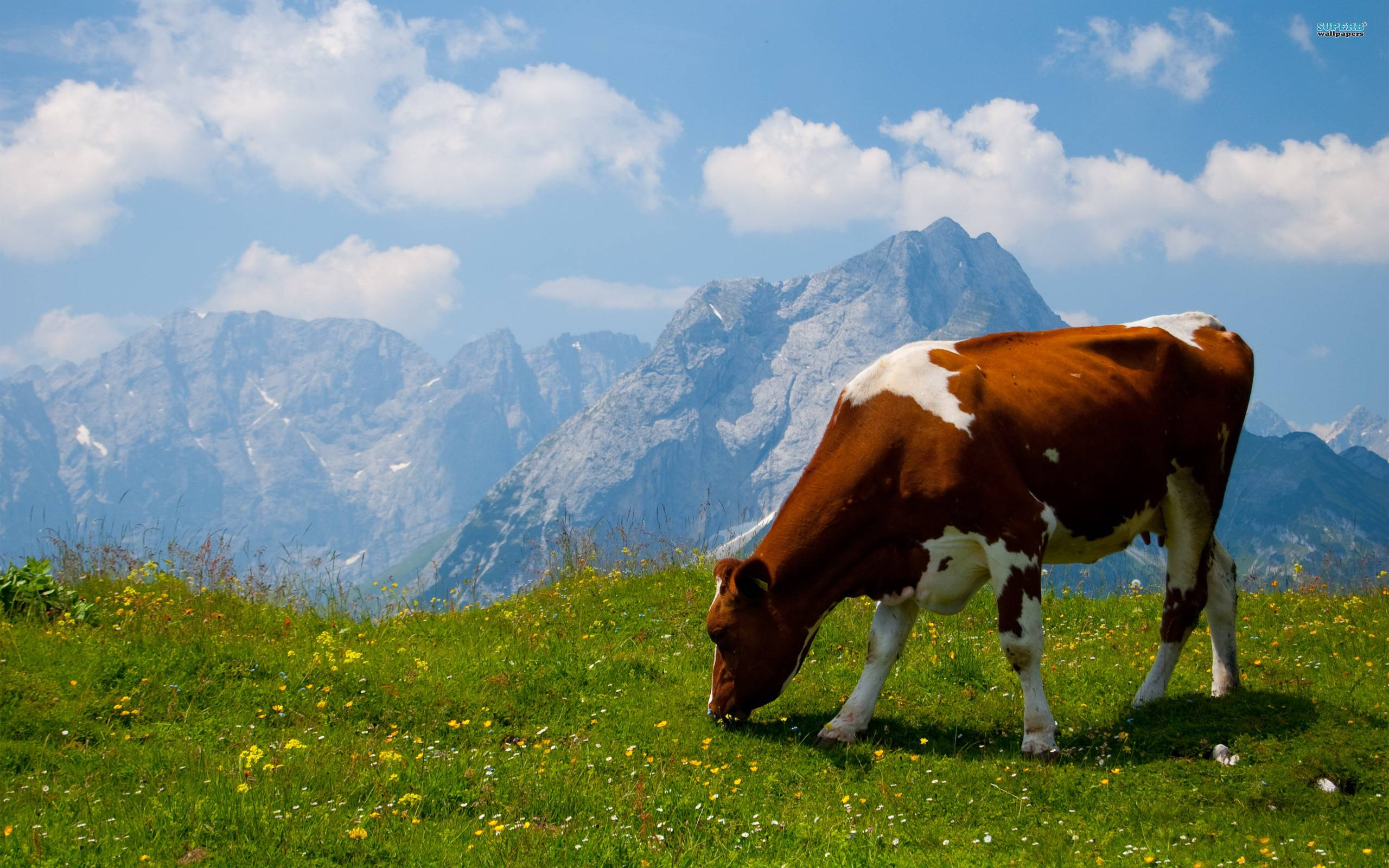 cow wallpaper by uberspot - photo #13