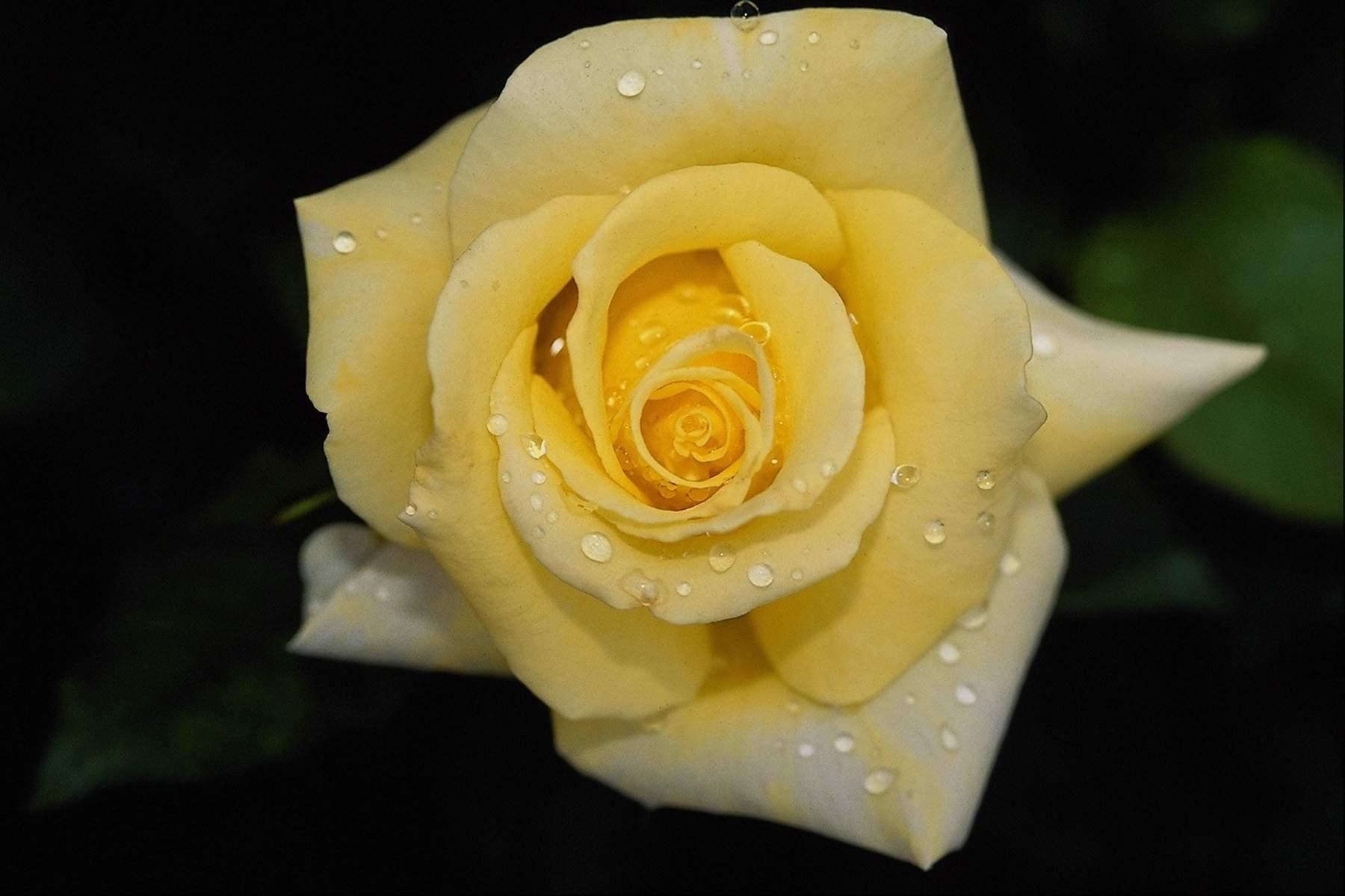 Hd wallpaper yellow rose - Yellow Rose Flowers Wallpapers Hd Pictures 4 Hd Wallpapers