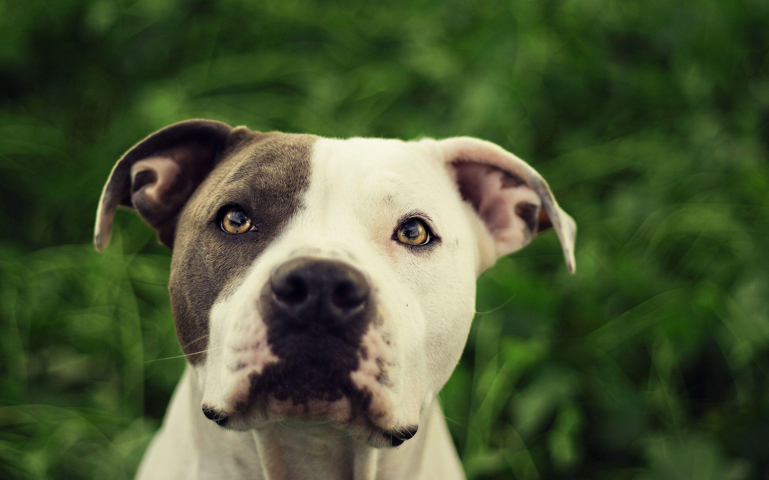 Pit Bull Dog HD Wallpapers | Pit Bull Desktop Images | Cool Wallpapers