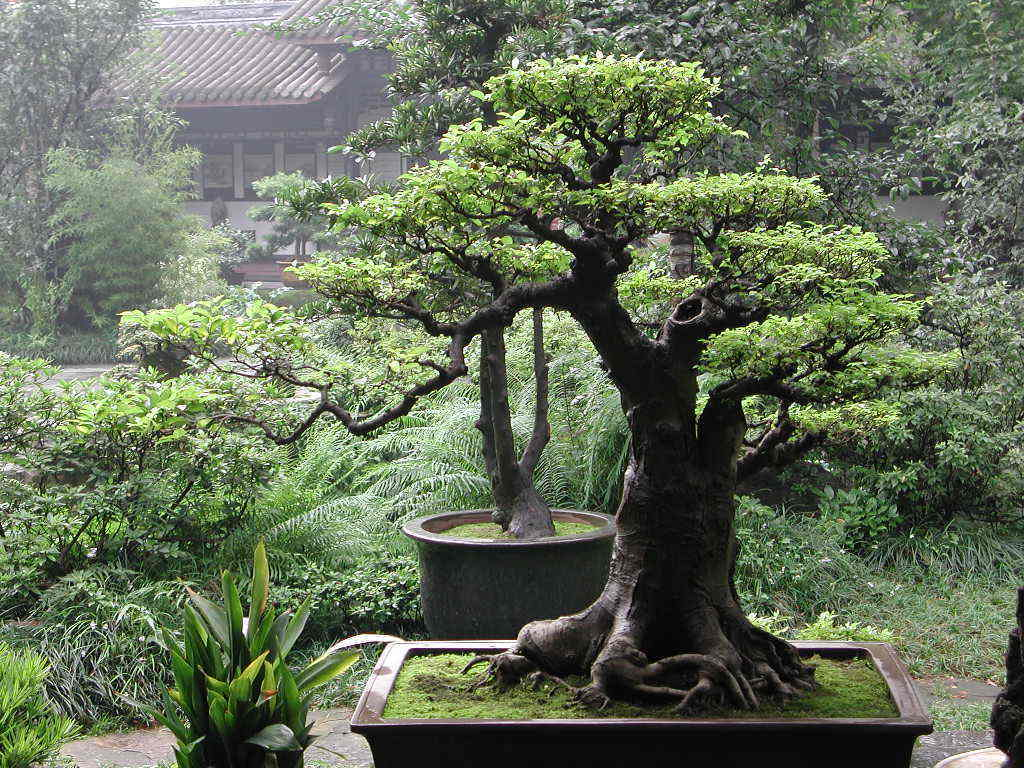 Bonsai Wallpaper - Bonsai Wallpaper (9595542) - Fanpop