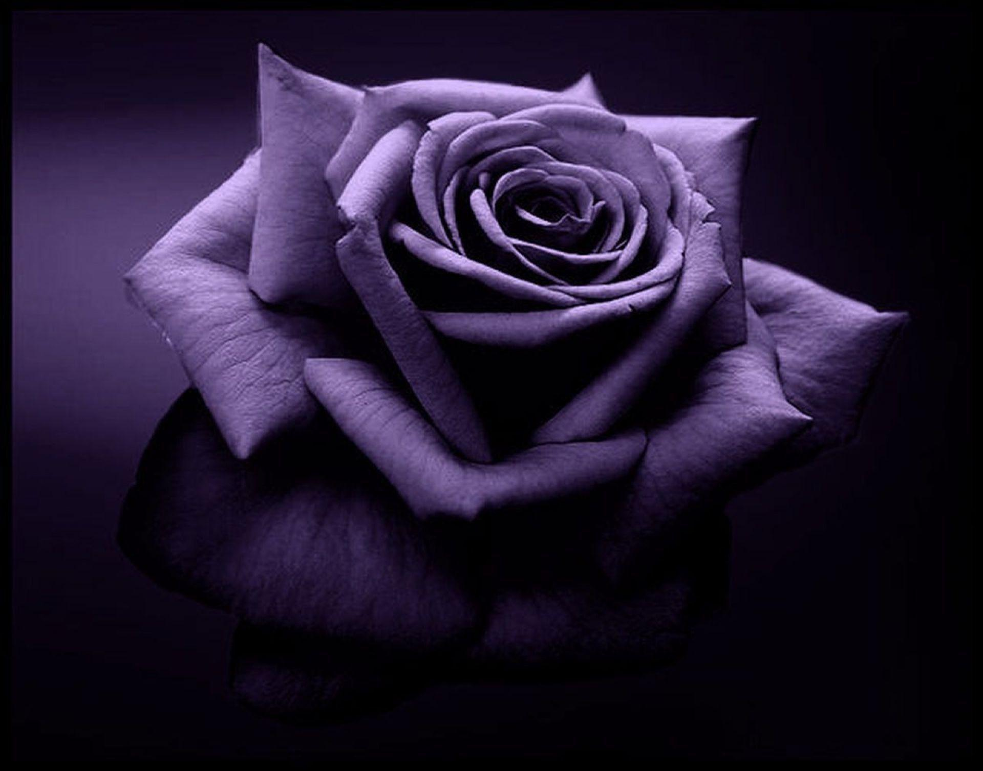 Purple Roses Wallpaper...