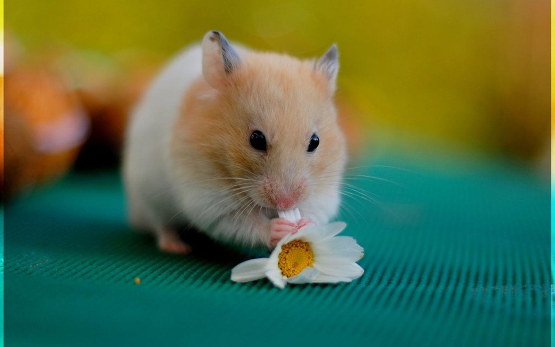 Hd Hamster