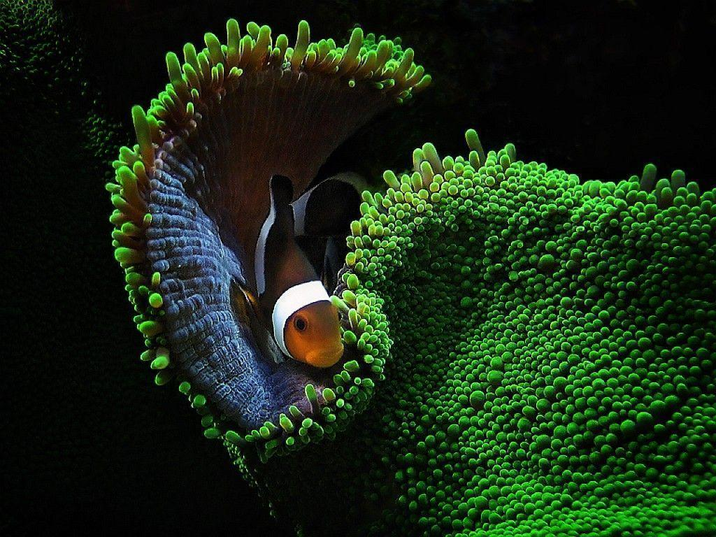 wallpaper clarkii clownfish - photo #32