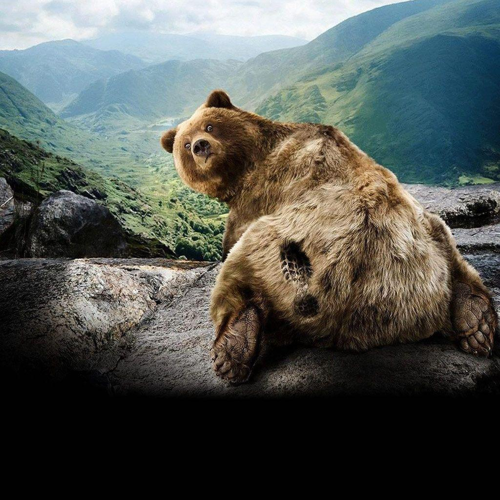 grizzly bear backgrounds – 1024×1024 High Definition Wallpaper ...