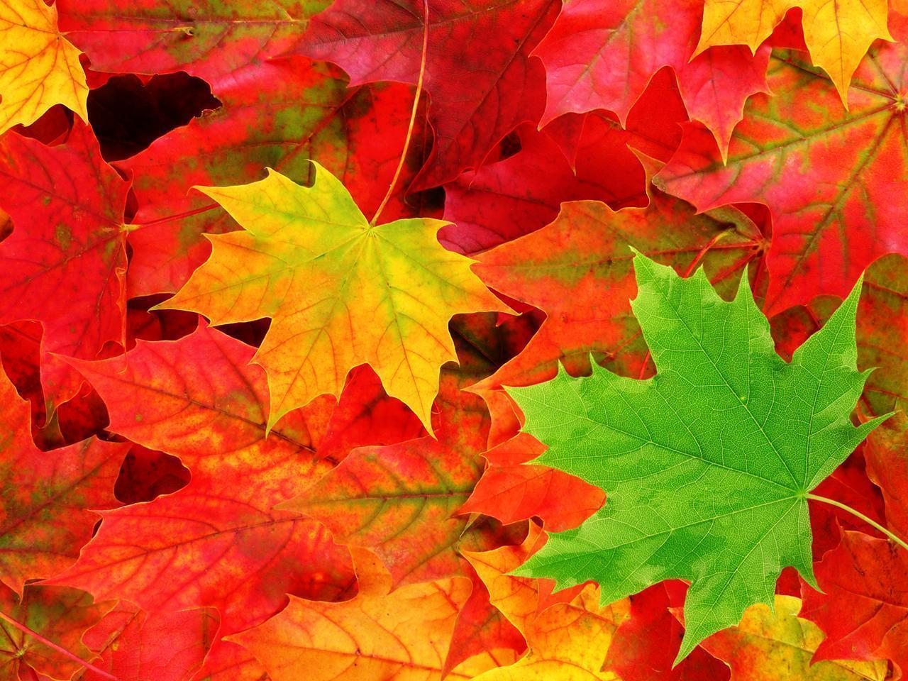 Colorful Autumn Maple Leafs iPhone HD Wallpaper Fall Wallpaper