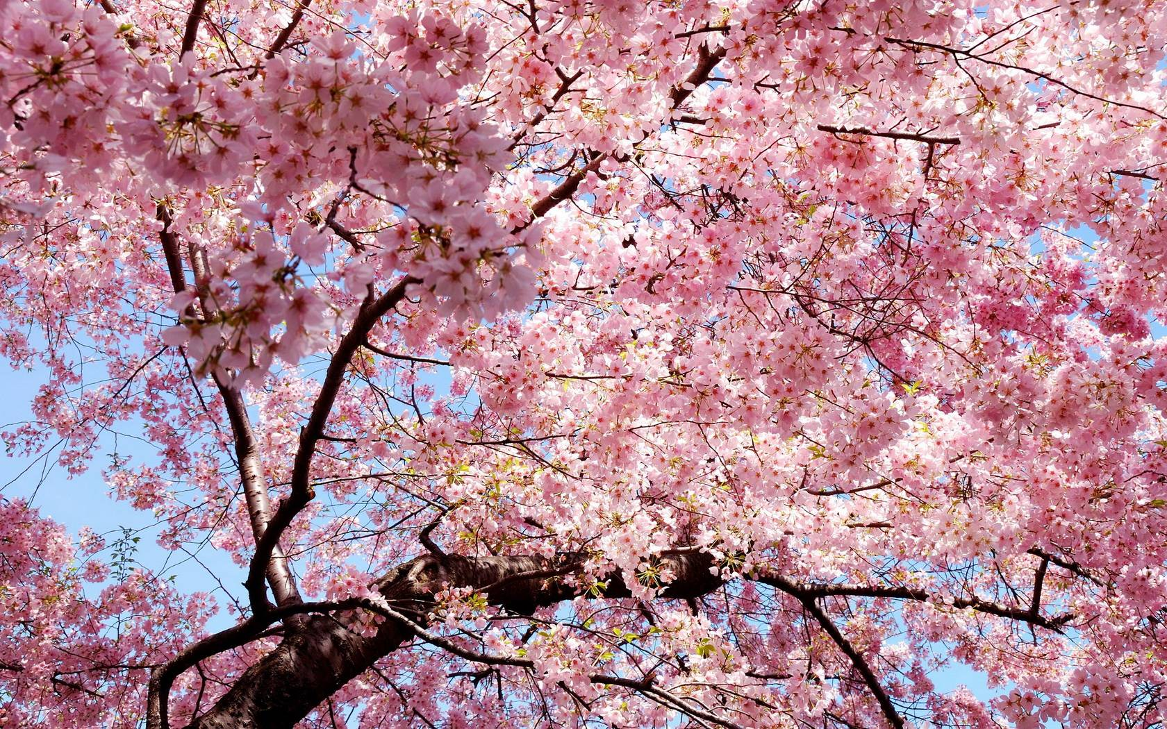 tunnel pink flower trees stock photo - Pink Trees