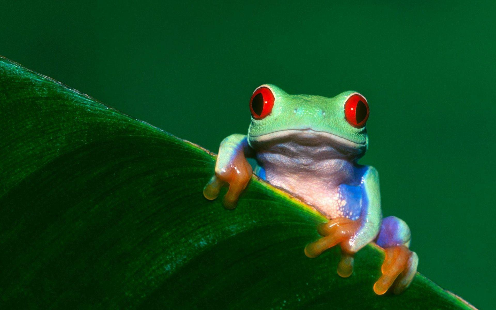 38 Tree Frog Wallpapers