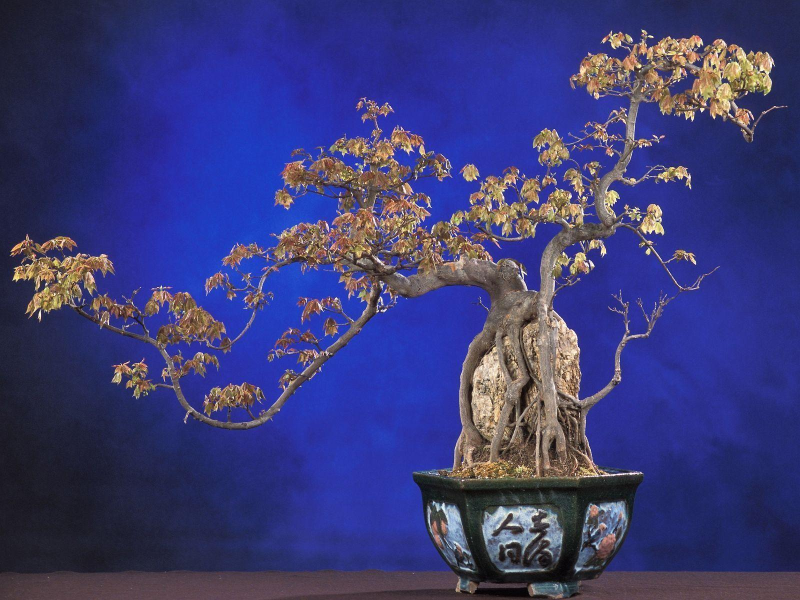 Download Bonsai Wallpaper 1600x1200 | Wallpoper #362171