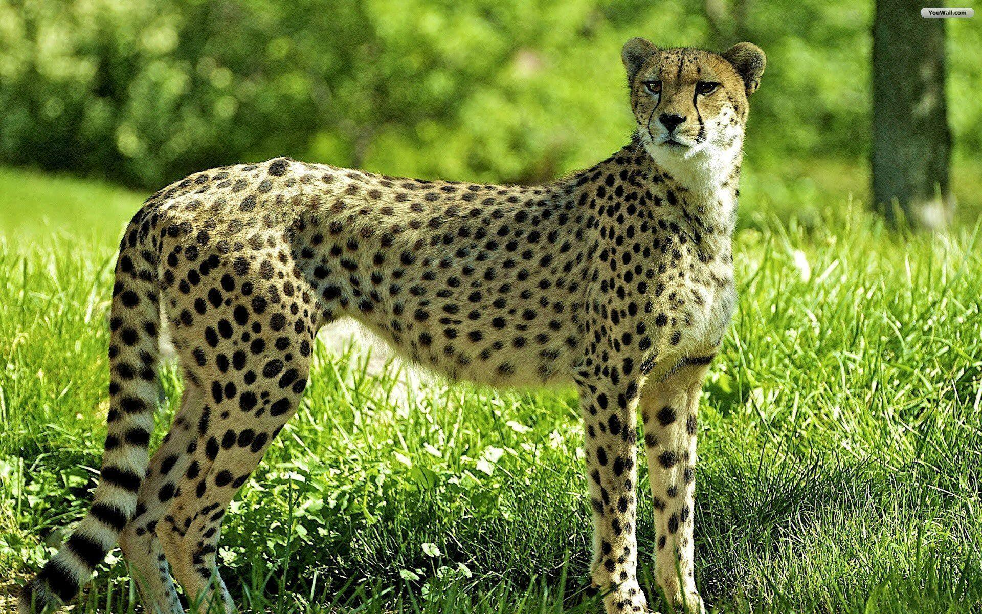 Cheetah Wallpapers - Full HD wallpaper search - page 8