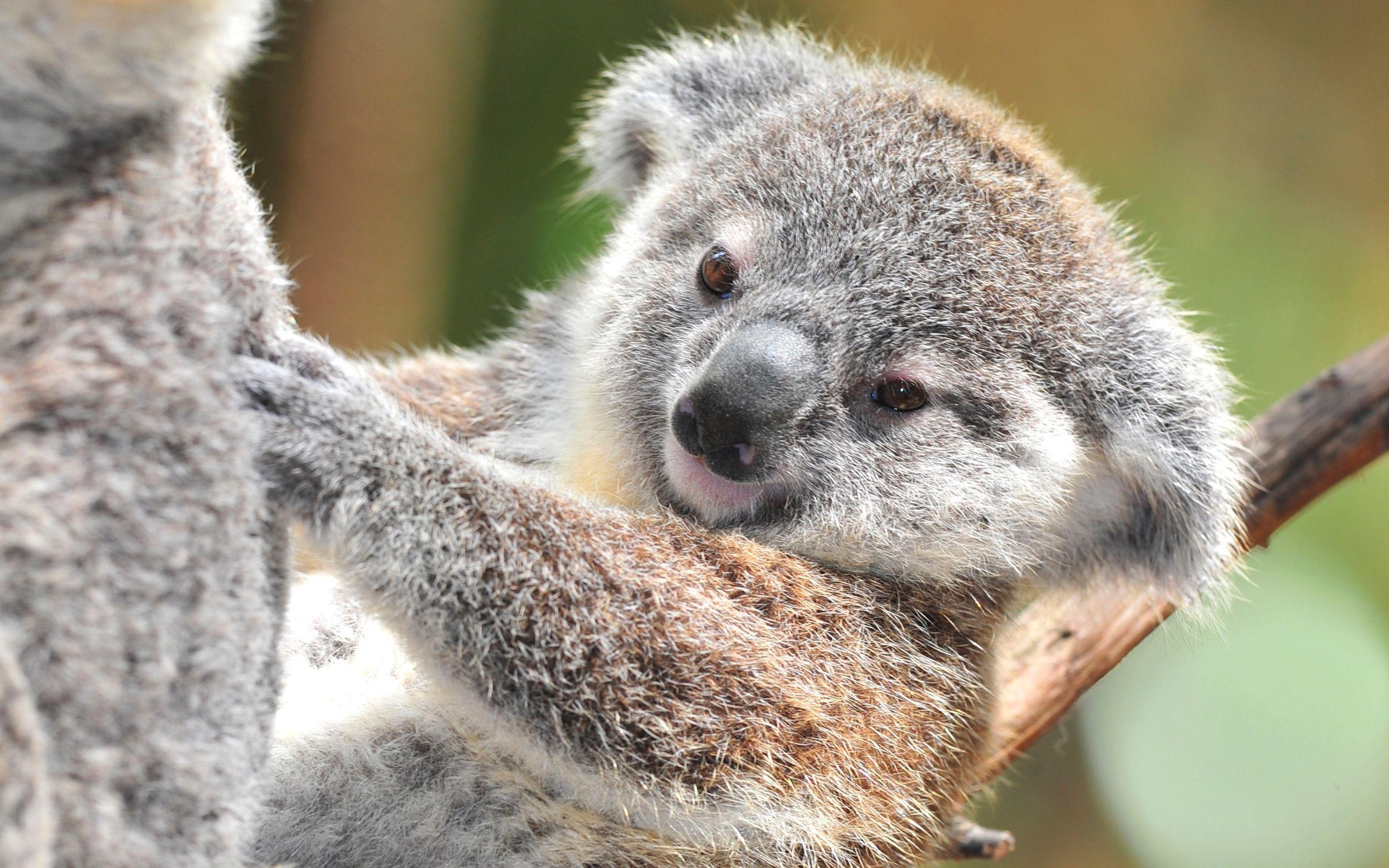 Download Koala Wallpaper 12958 2560x1600 px High Resolution ...