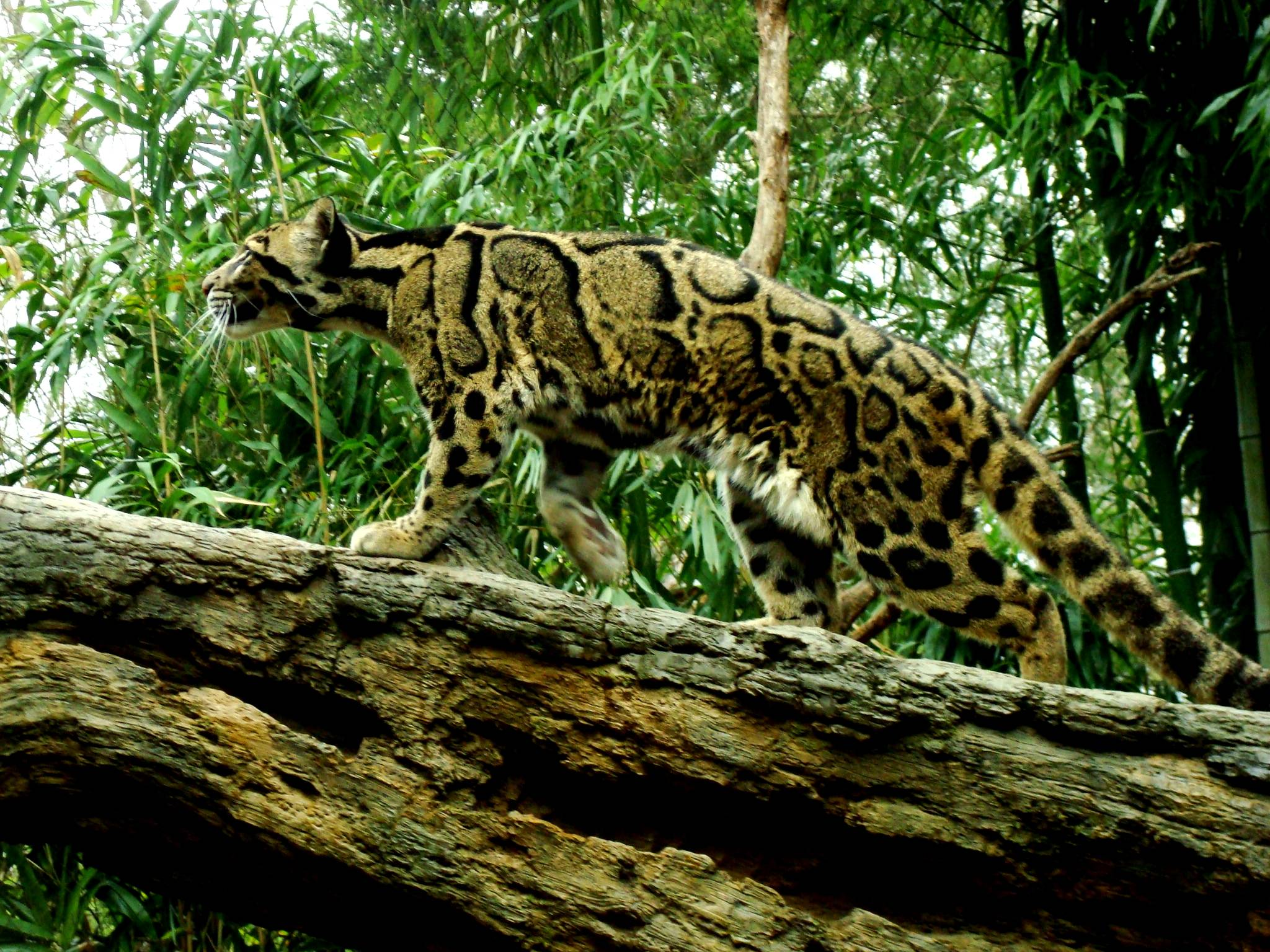 clouded leopard wallpaper - photo #9