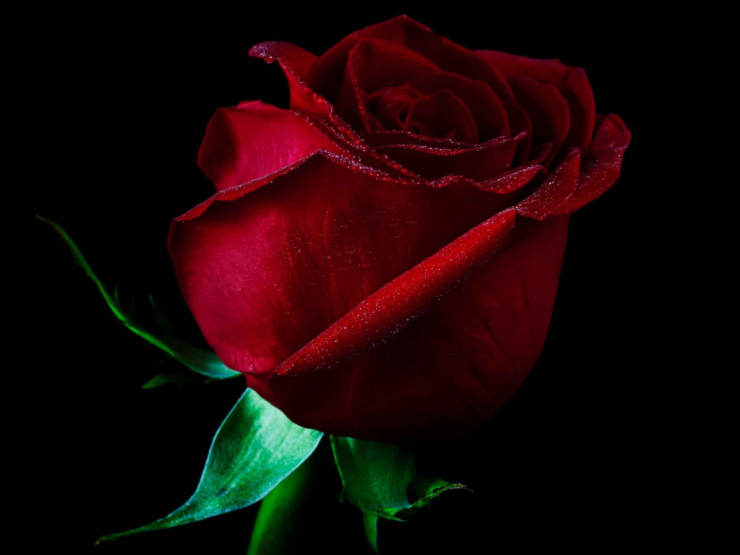 Single Red Rose Wallpapers