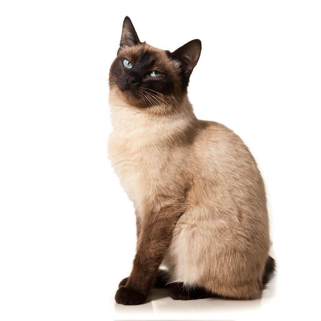 siamese cats wallpaper 3 -#main