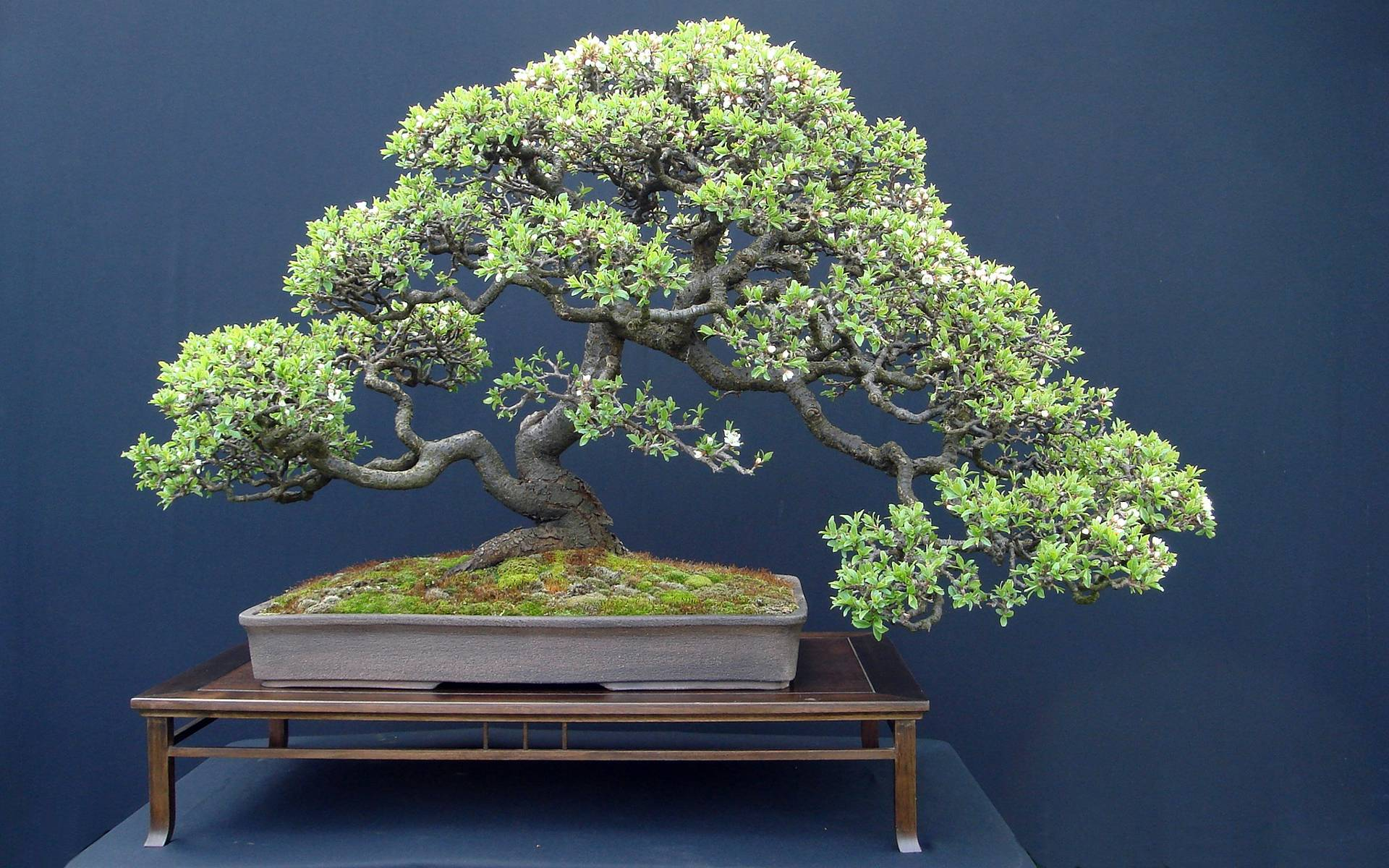 Bonsai Tree widescreen wallpaper | Wide-