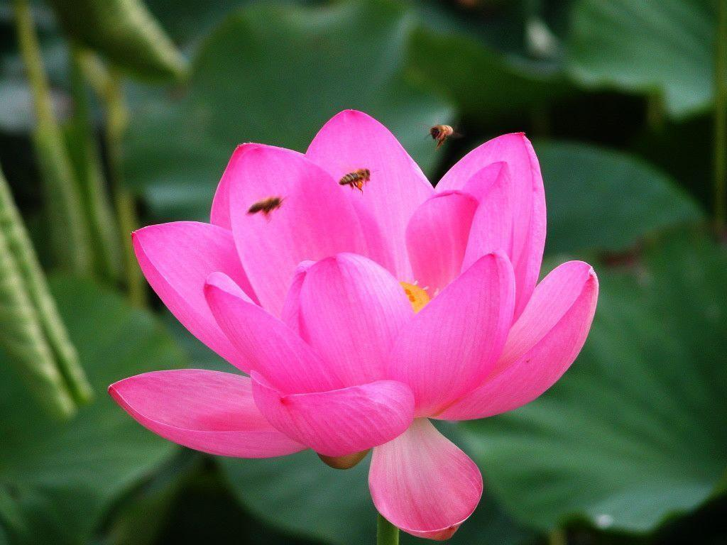 Lotus Flowers Flower Nice Wallpapers, HQ Backgrounds | HD ...
