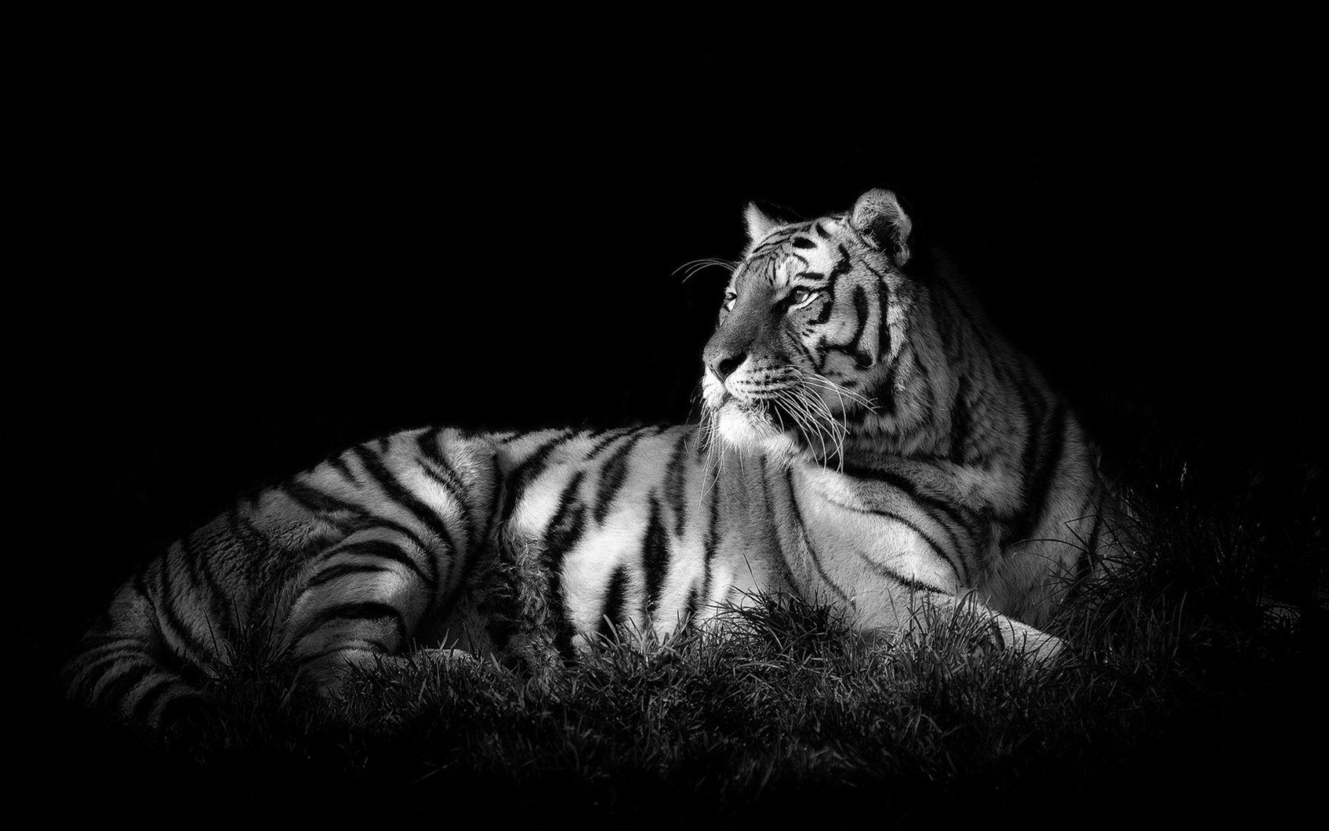 White Tiger Backgrounds Wallpaper Cave