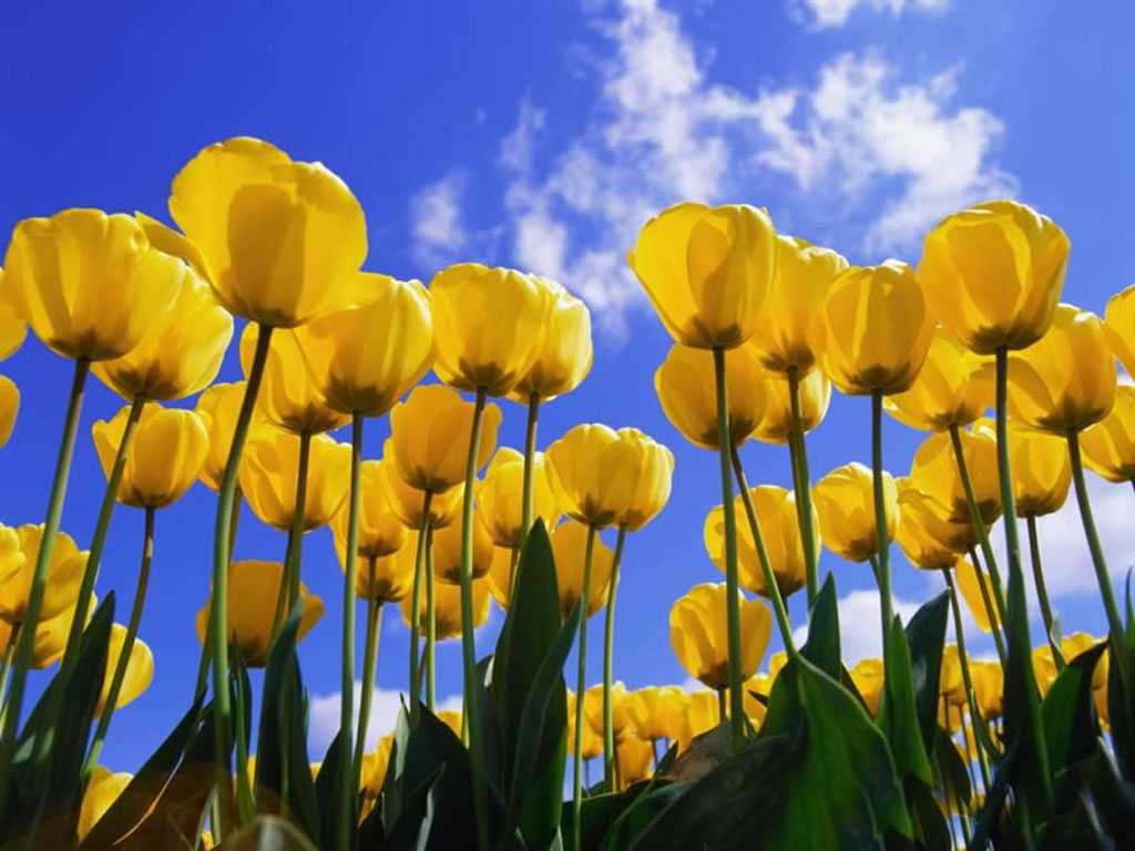 Yellow Tulip Wallpapers 20625 Hd Wallpapers in Flowers