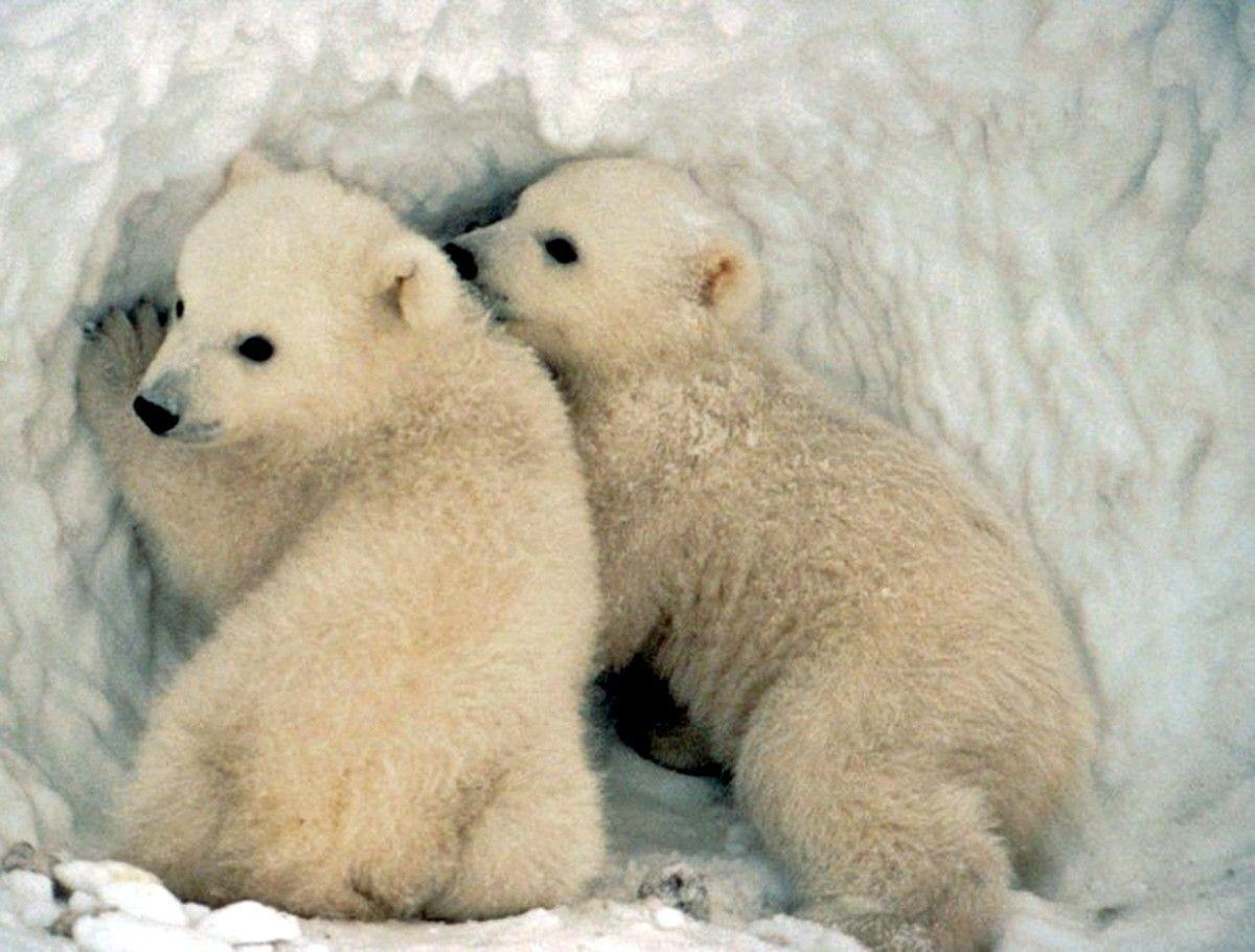 baby polar bear wallpapers wallpaper cave