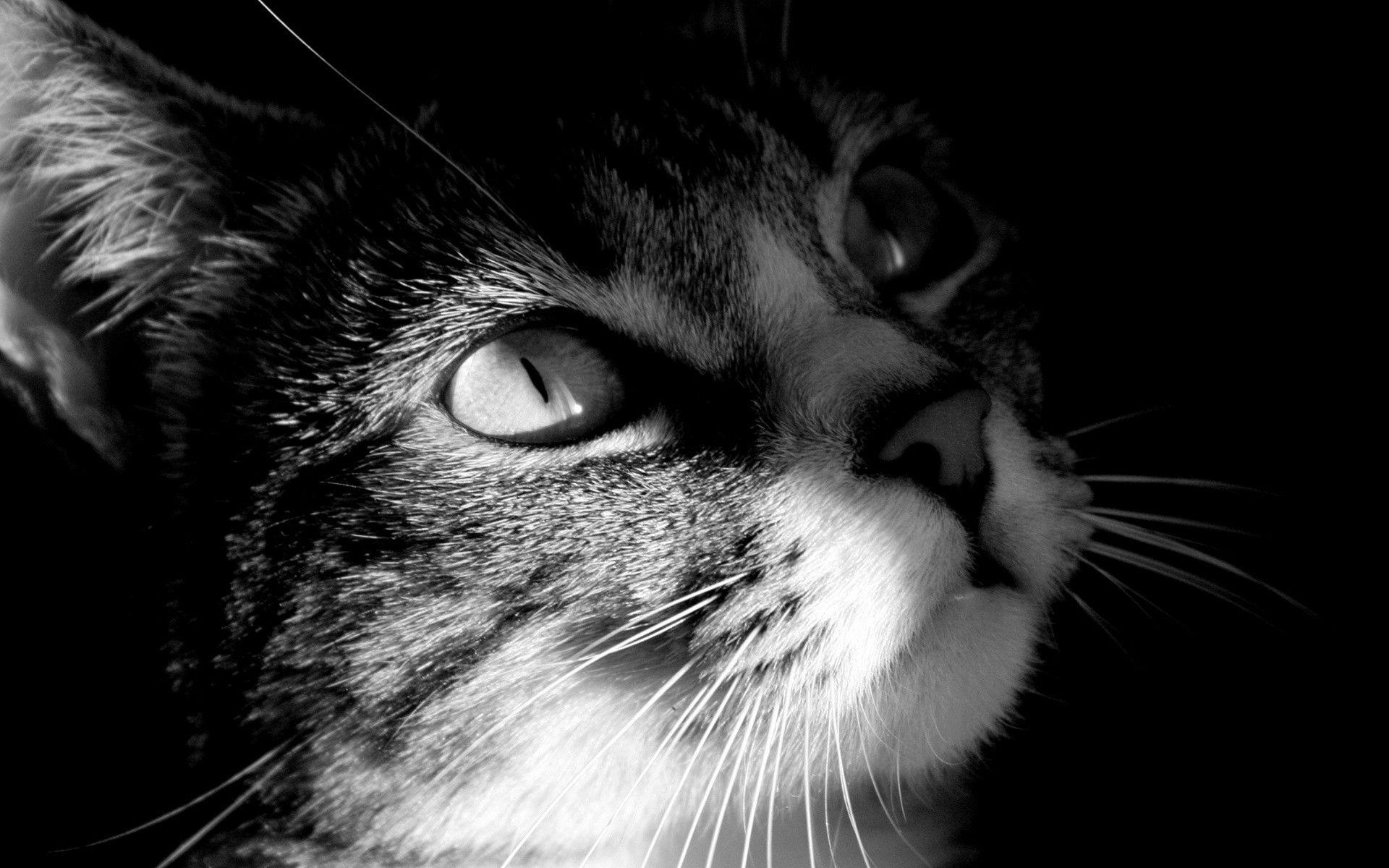 Cute Cat Black And White Desktop Wallpapers