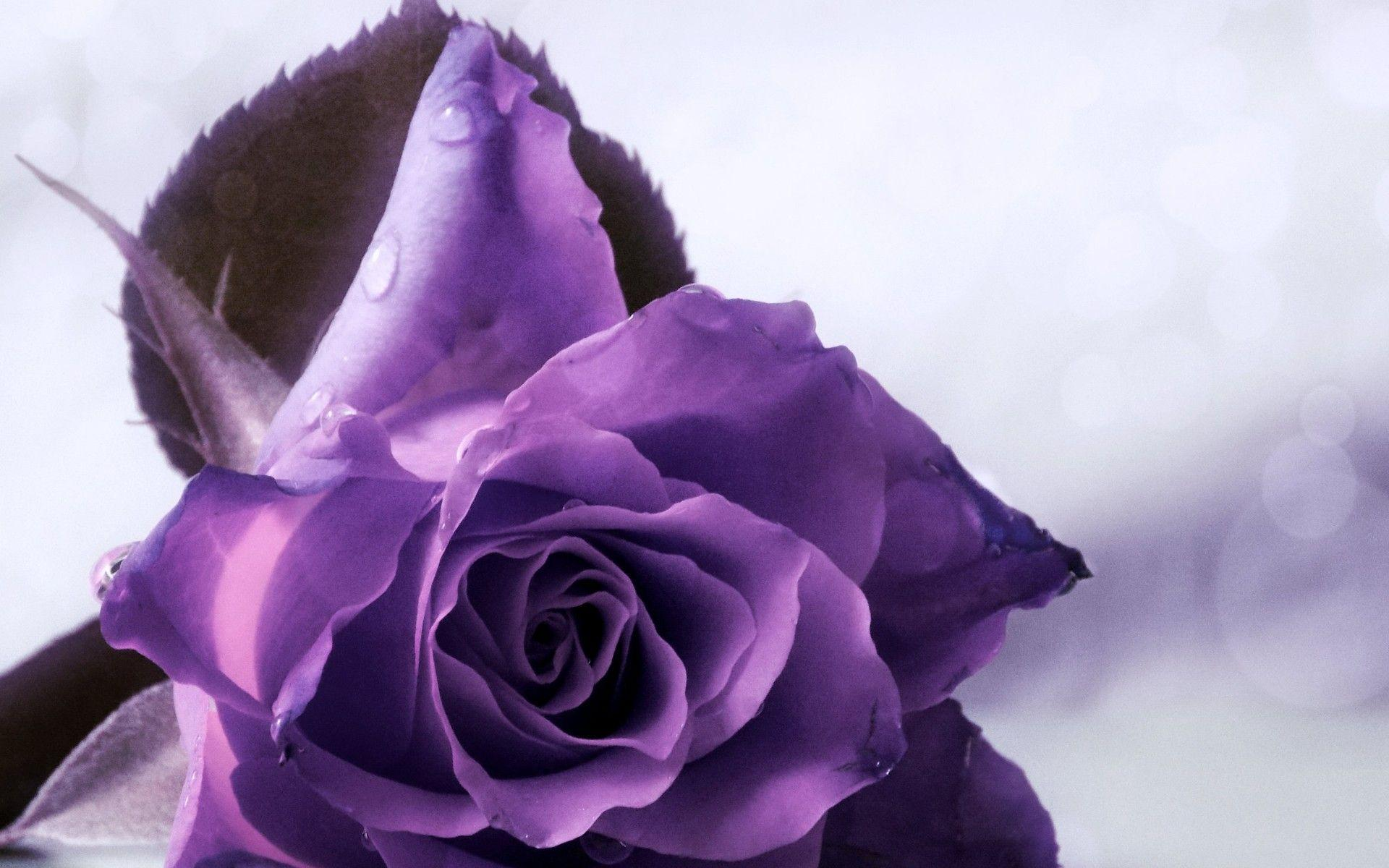 wallpapers of purple roses - photo #26