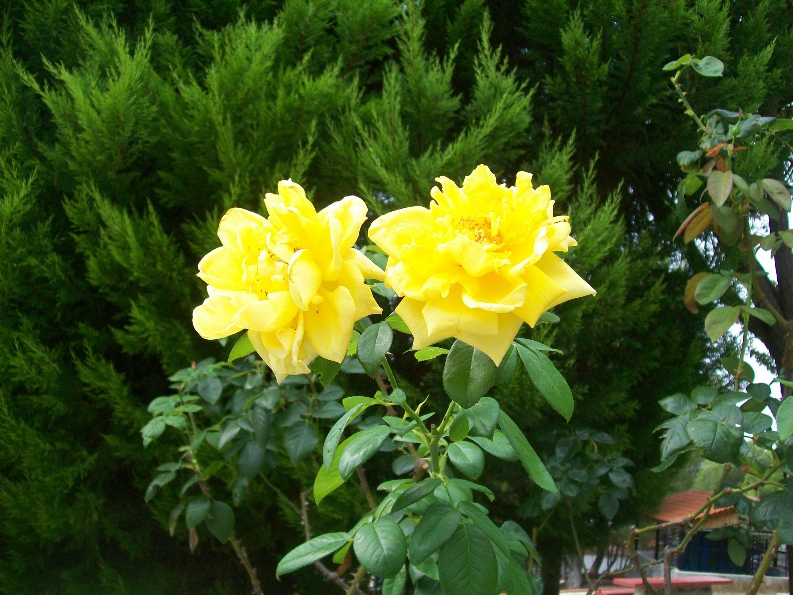 Hd wallpaper yellow flowers - Yellow Rose Widescreen Desktop Wallpaper Hd Wallpapers