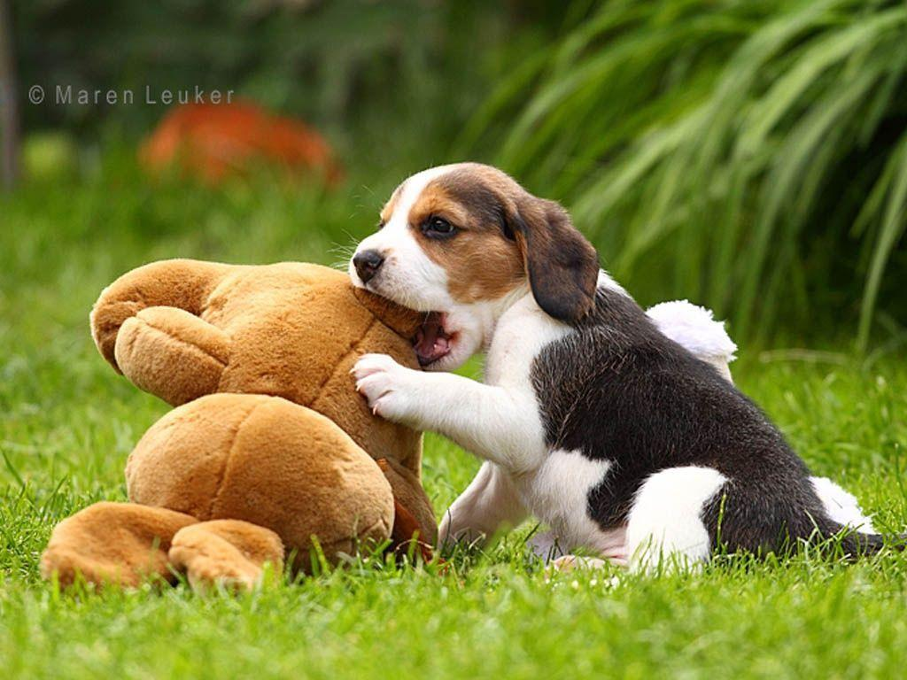 Beagle Puppies Newborn to 9 weeks time-lapse video - Cute and ...