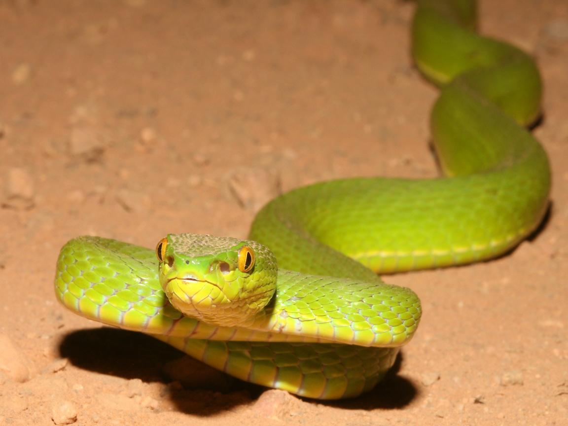 Pit viper snake wallpaper - photo#30