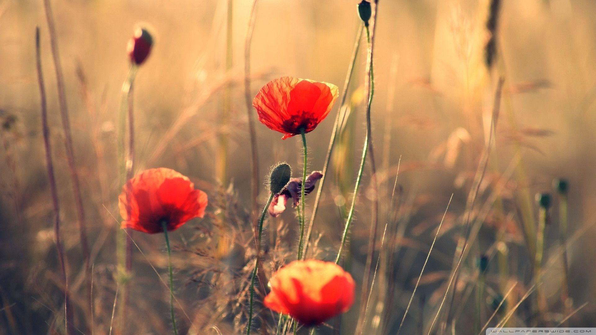 poppy red background - photo #21