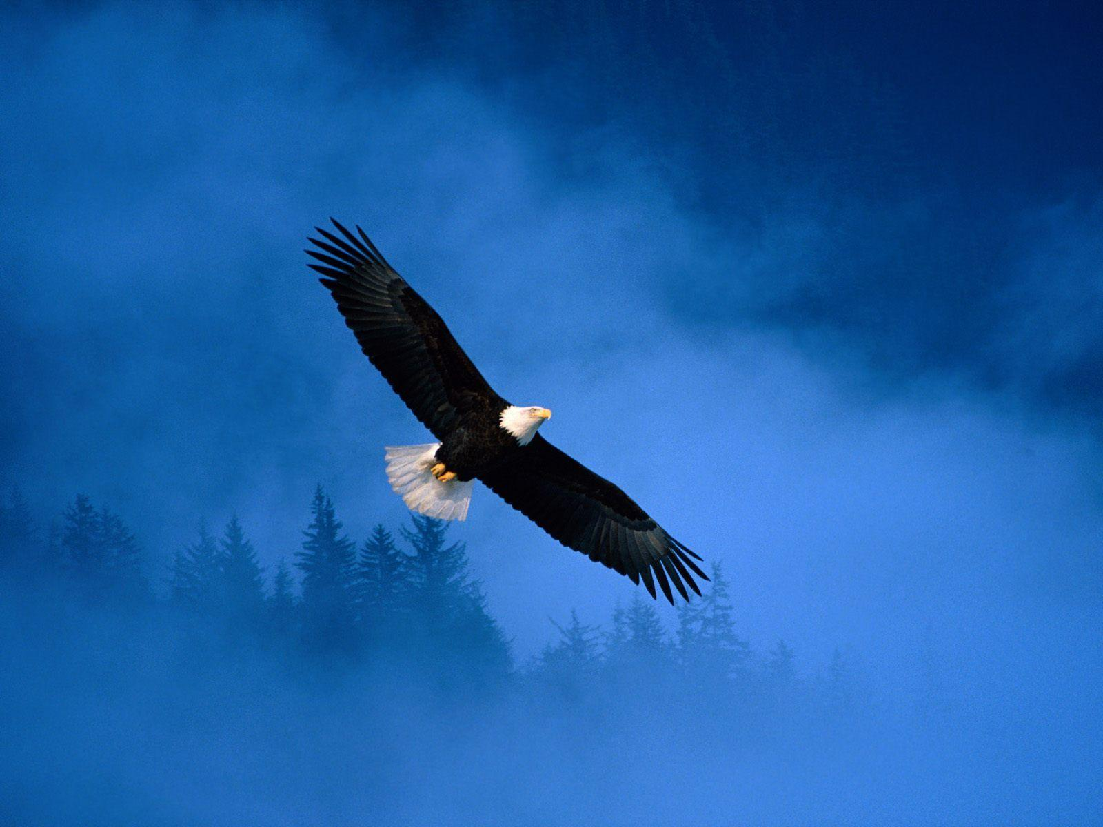 Free Bald Eagle Wallpapers