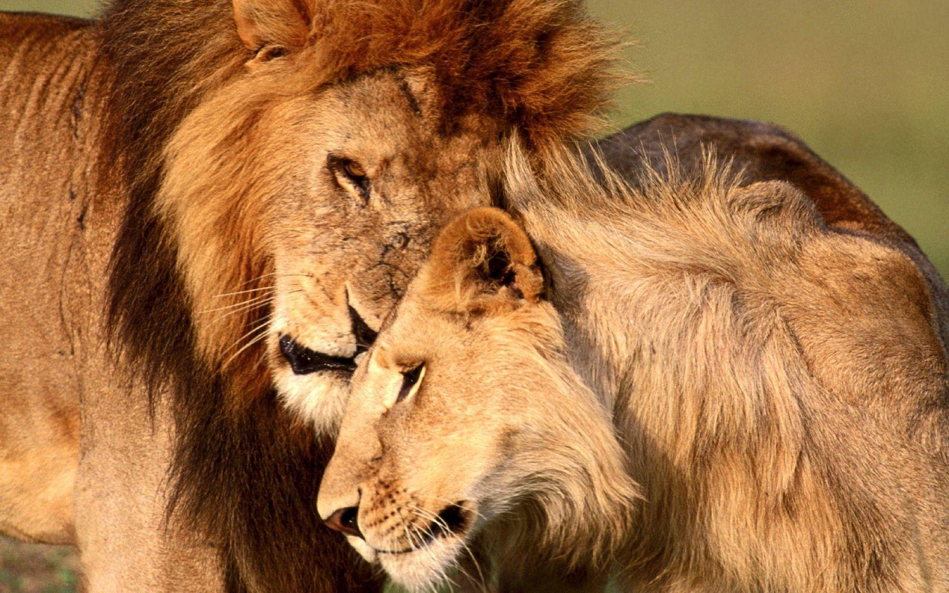 Hd wallpaper lion - Wallpaper 1920x1080 Lion Cat Couple Mane Rest Full Hd