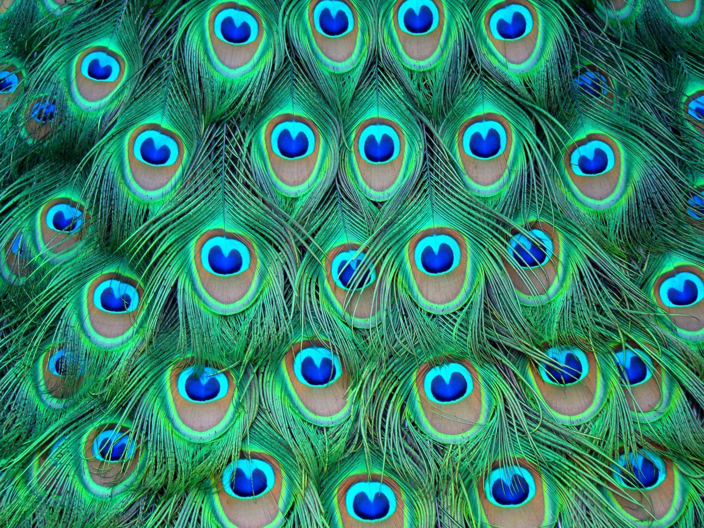 Peacock feather backgrounds wallpaper cave for Turquoise colour images