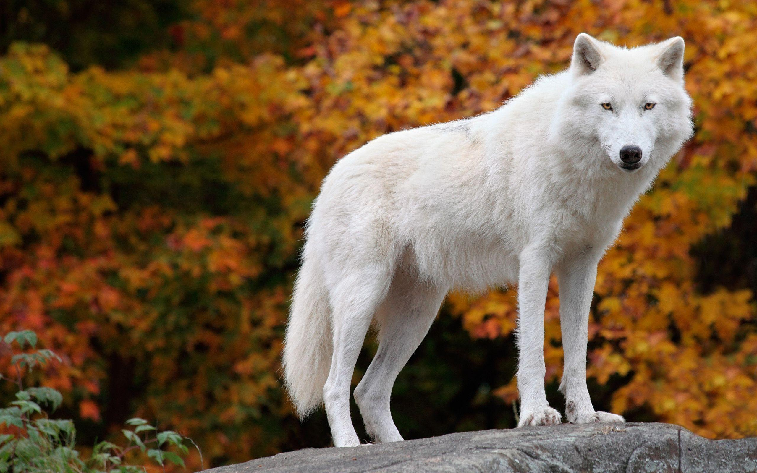 Arctic Wolf Wallpapers Wallpaper Cave