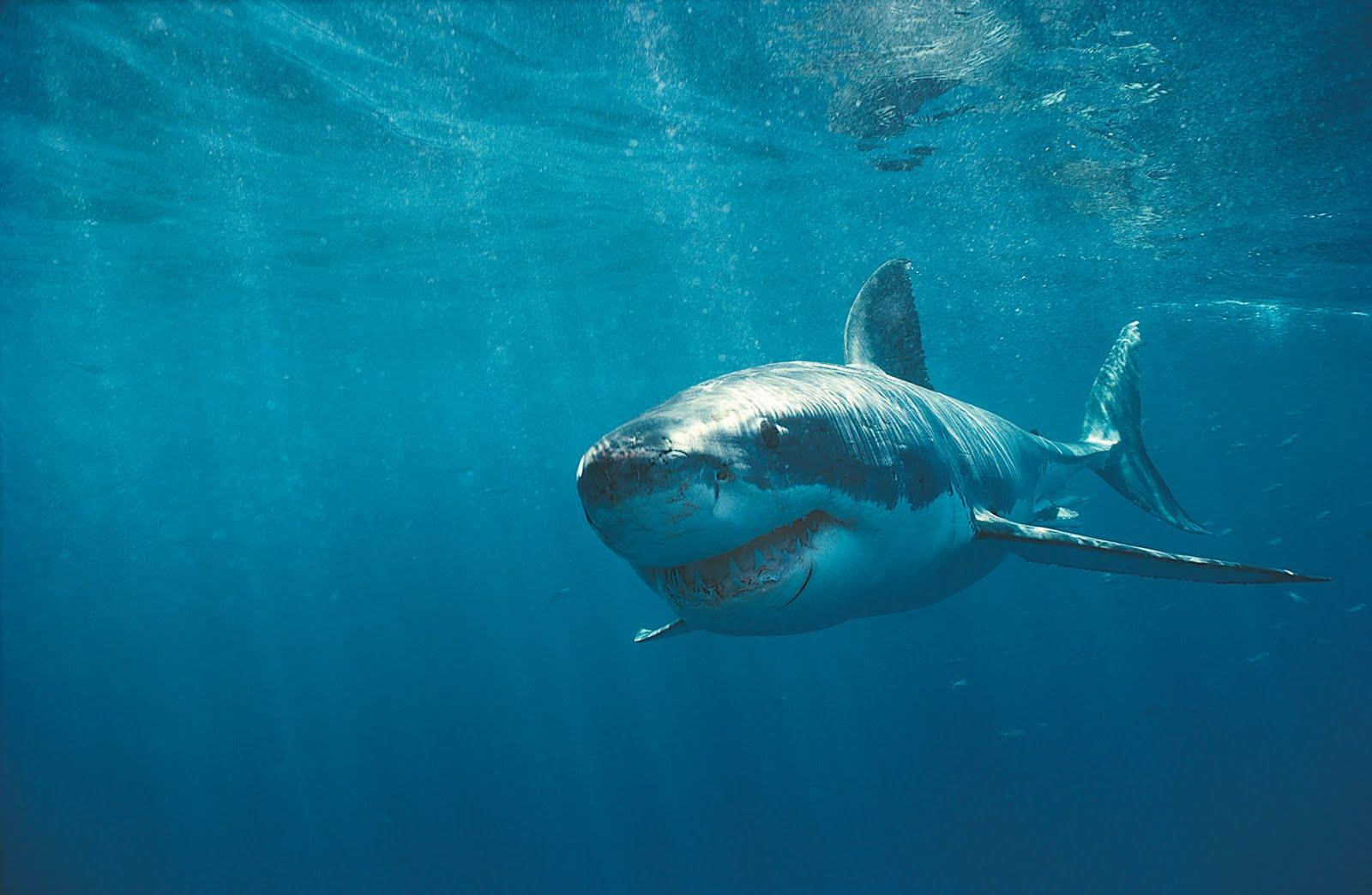 Animals For > Shark Wallpaper Hd
