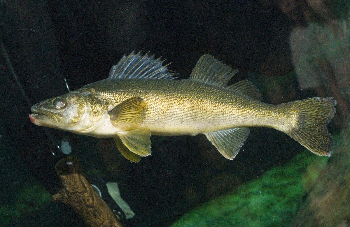 Walleye Underwater