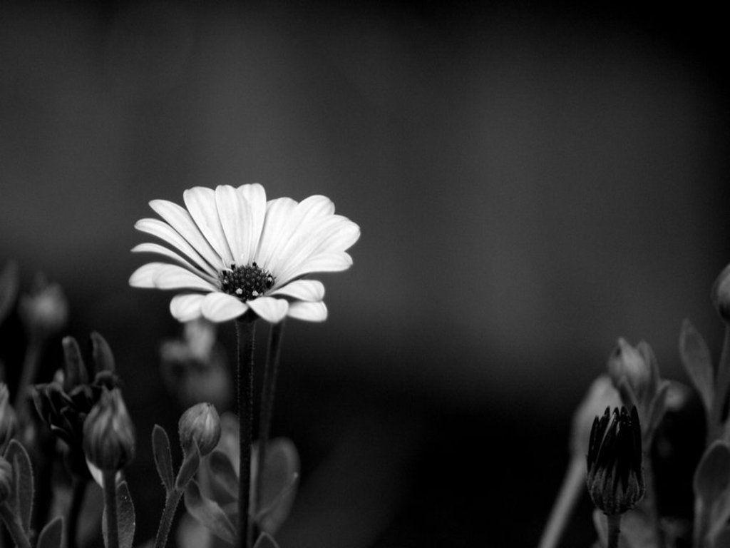Flowers For > Black And White Flowers Wallpapers