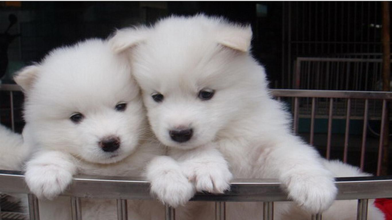 Samoyed Dogs For Sale Colorado