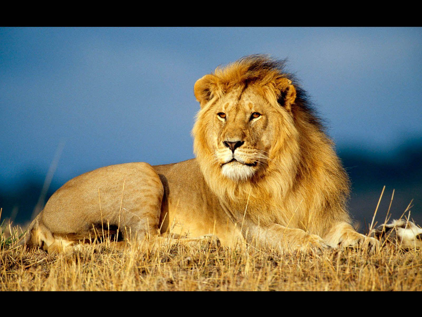 A Place For Free HD Wallpapers | Desktop Wallpapers: Male Lion ...